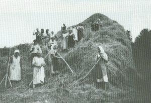 Communal thresshing in Fachria